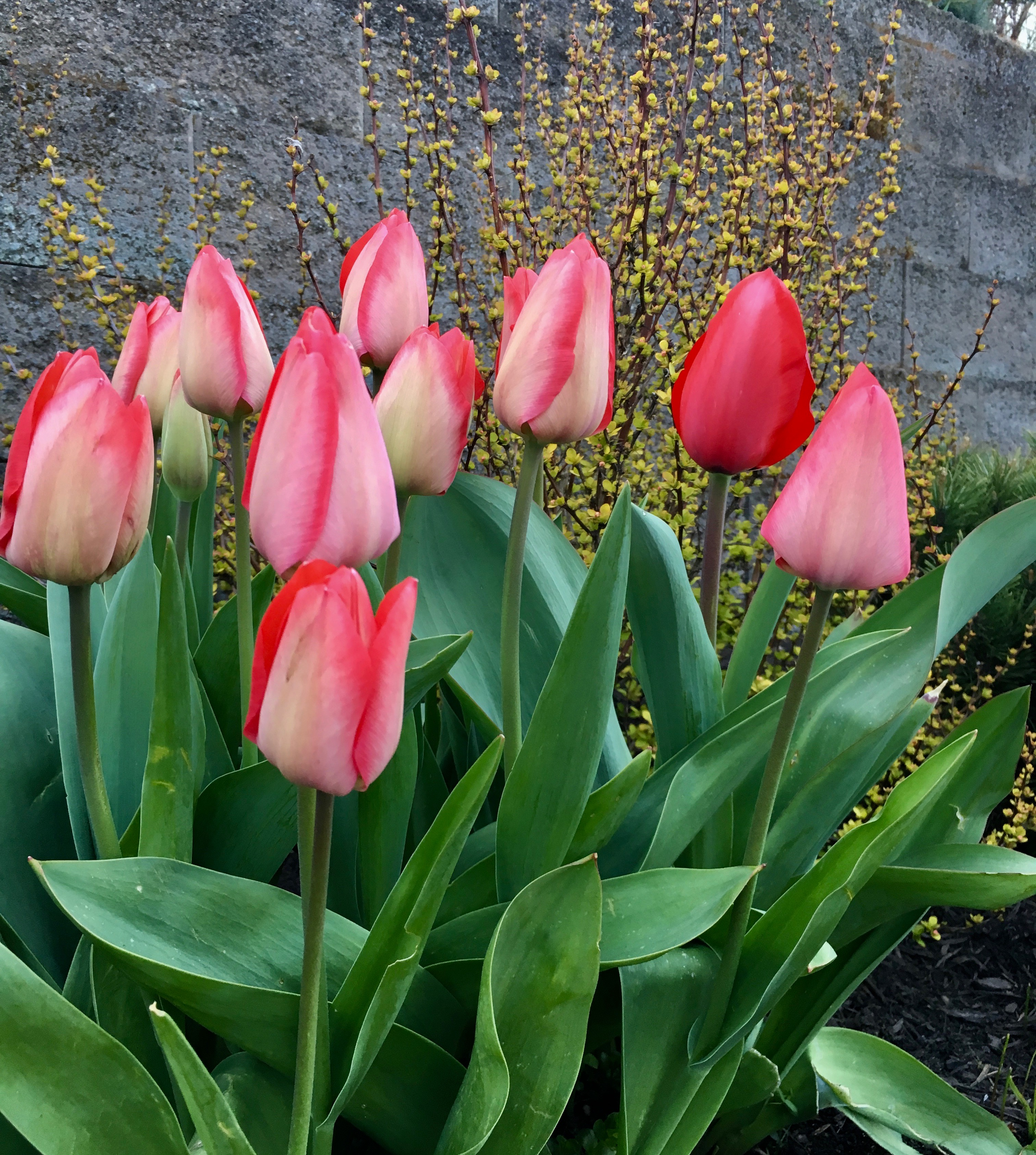 Spring Flowering Bulbs By Design Michael Muro