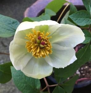 Shade Peony Bloom